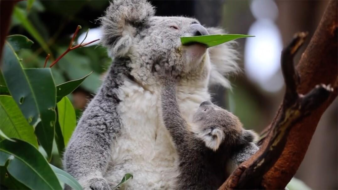Pierwszy posiłek małej koali. Podopieczna australijskiego zoo zajada się liściem eukaliptusa