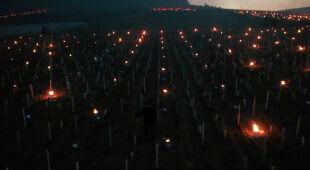 Zapalili świece, by ogrzać winorośl