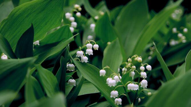 Konwalie są roślinami trującymi