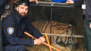 To nie halucynacja, to rzeczywiście ogromny tygrys