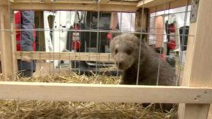 Puchatka ma nowy dom. Niedźwiedzica trafiła do poznańskiego zoo
