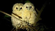 Małe puszczyki wyrzucone z gniazda przez rodziców
